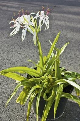 Křín (Crinum americanum) miluje hodně slunce avzduchu. Je to rostlina zbažin apokud ji vletních měsících necháte stát vmisce svodou nebo na mělčině zahradního jezírka, odmění se bohatým kvetením.