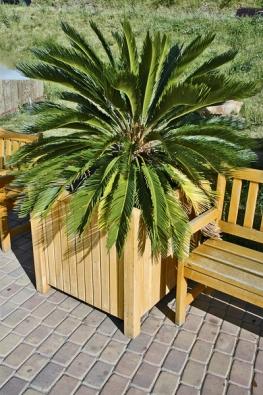 Nejznámější cykas (C. revoluta) zjihu Japonska roste na skalních útesech kolem moře.  Vbytě mu chybí slunce ačerstvý vítr, balkon nebo zahradu může krášlit od května do října.