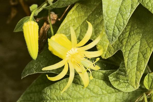 """""""Vyvenčení"""" prospěje iněkterým druhům mučenek, především těm subtropickým. Nejznámější znich, Passiflora coerulea, vydrží na jihu Evropy venku trvale."""