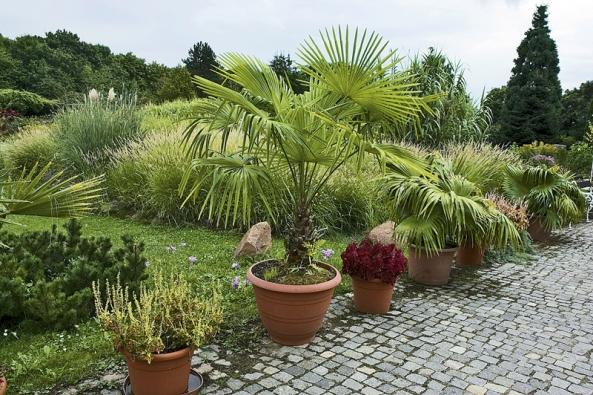 Palmy rodu Washingtonia pochází ze severu Mexika ajihozápadu USA. Silné rostliny přežijí  na poušti  až –10 ˚C,  neotužilé rostliny zbytu však přemístěte do interiéru nejdéle sprvními mrazíky.