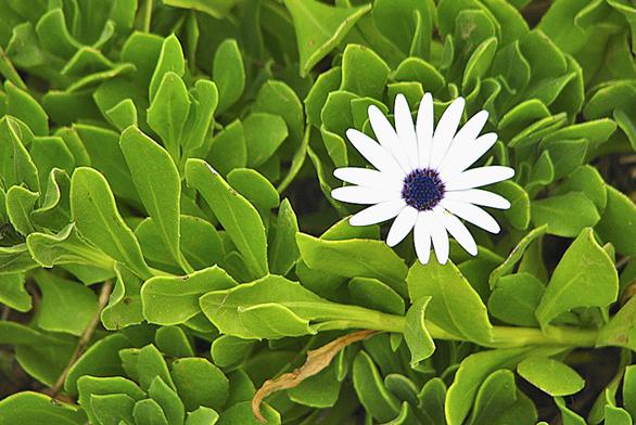 Dvoutvárka má velké množství květu shnědým středem. Ideální na suché zítky askalky.