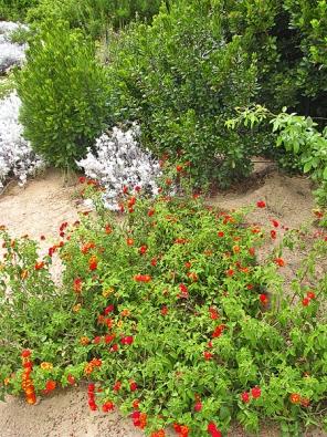 Libora měňavá, také soranžovými, žlutými, bílými či růžovými kvítky. Nejoblíbenější jsou odrůdy, které během rozkvétání mění barvu.