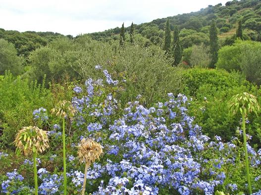 Olověnec svítí modře květy spěti okvětními lístky (také vbílé, růžové, červené barvě).