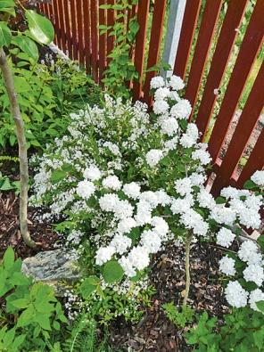 """""""Bílá"""" část zahrady je osázena jen bíle kvetoucími rostlinami. Na snímku trojpuk ajaponská kalina."""