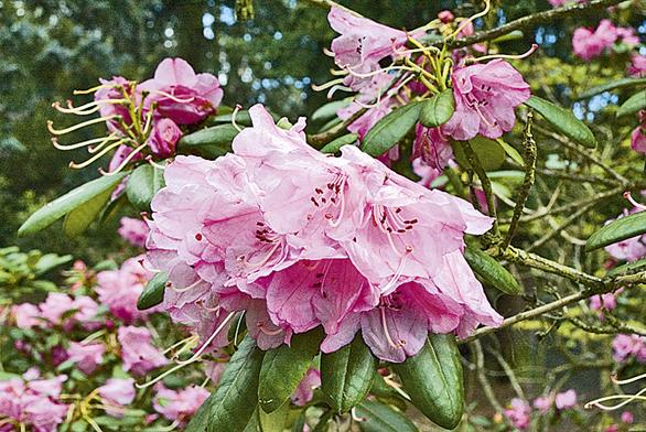 Vzhled rododendronů bývá různý, najdeme mezi nimi přes 20 metrů vysoké stromy i sotva 20cm dorůstající keříky.