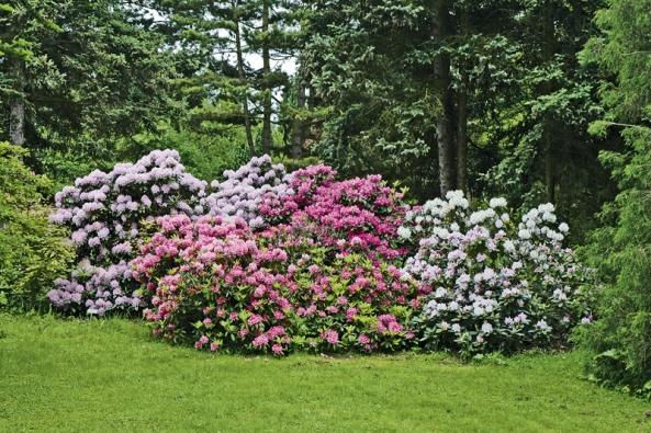 Rozkvetlé rododendrony vDendrologické zahradě vPrůhonicích. Daří se jim ve vlhkém klimatu nedaleko potůčku, kde jsou před prudkých sluncem chráněné vzrostlými jehličnany.