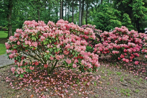 Rododendrony se nehodí do každé zahrady a také v každé nenajdou vhodné podmínky, aby dělaly radost svým pěstitelům.