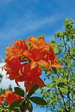 Opadavý rododendron (azalka) odrůdy ´Gold Dust´ svítí výraznou barvou květů do daleka.