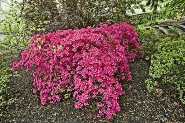 Opadavý rododendron ze slavné české skupiny Jelínkovy azalky, v tomto případě odrůda ´Labe´.