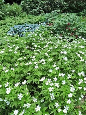 Mnohačetná květenství některých stínomilných trvalek vzáplavě zeleně doslova zazáří.