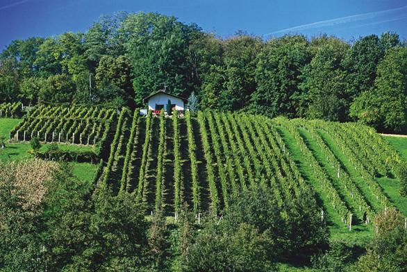 Pokud je možné vyčlenit pro vinnou révu část zahrady, připadá vúvahu ivýroba vlastního vína.