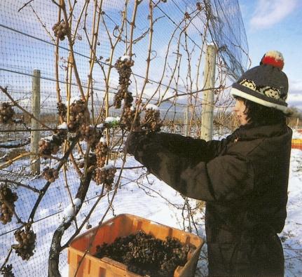 Sběr hroznů ryzlinku vzimě. Ze zmrzlých hroznů  se vyrábí pověstné ledové víno.