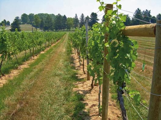 Réva se pěstuje nejen na svazích, ale mnohde ivrovinatém terénu.