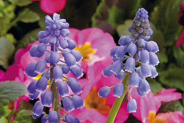Modřenec – cibulnatá květina vytvářející husté kolonie