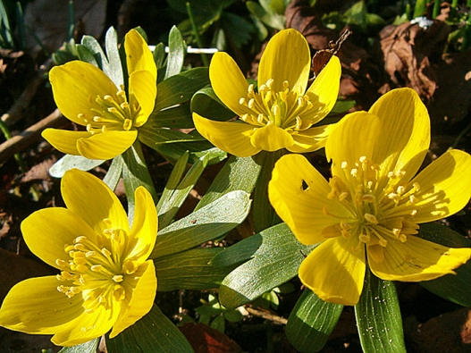 Talovín zimní – velmi raná cibulnatá květina žluté barvy