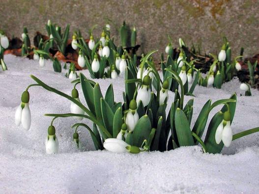 """Sněženka – cibulnatá květina, """"první posel jara"""""""