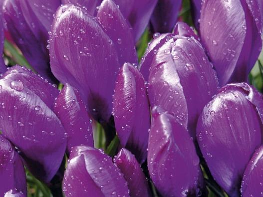 Krokus – cibulnatá květina, vhodná do velkých skupin