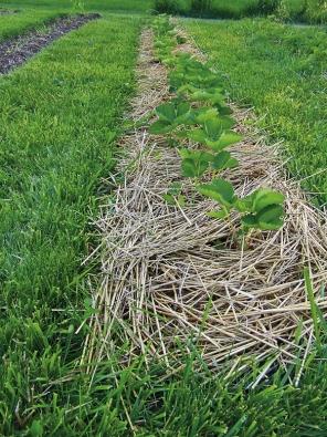 Vhodný mulč (například ze slámy) udržuje půdu dostatečně vlhkou aprostou plevelů.