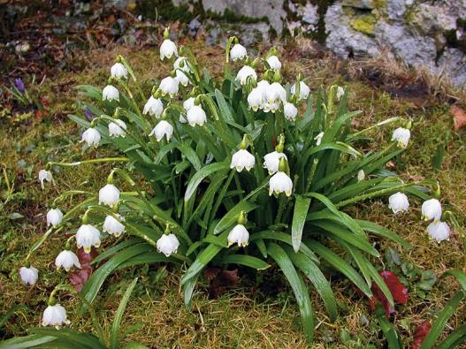 Bledule – cibulnatá květina velmi příjemné vůně