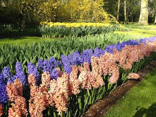 Hyacintů existuje široká paleta barev – nejoblíbnější ale zůstává bílá, růžová nebo modrá.