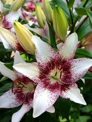 Šlechtitelské týmy vtiskly rostlinám rozmanité barvy květů, často zajímavě panašované.
