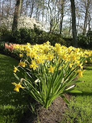 Koberce znarcisů, tulipánů ahyacintů vykvétají vparku pravidelně od roku1950.