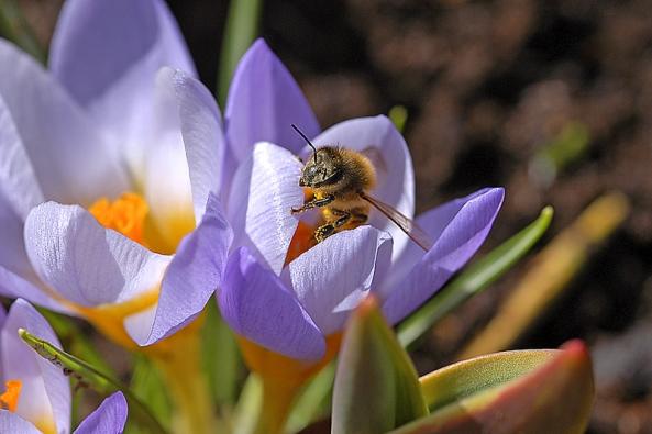 Mezi drobné cibuloviny zastoupené vparku patří ikrokusy.