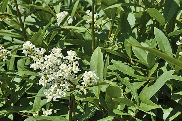Stálezelené keře ptačího zobu ozdobí na začátku léta bílé květy.