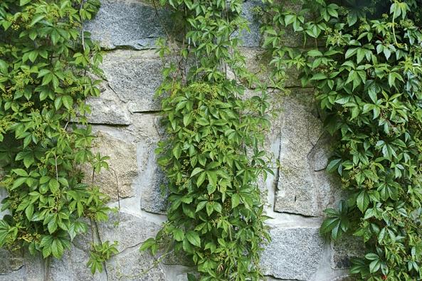 Přísavník je vhodný kozelenění mohutnějších zdí nebo stěn domů vtěsné blízkosti ulic, kam se řada  keřů nevejde.