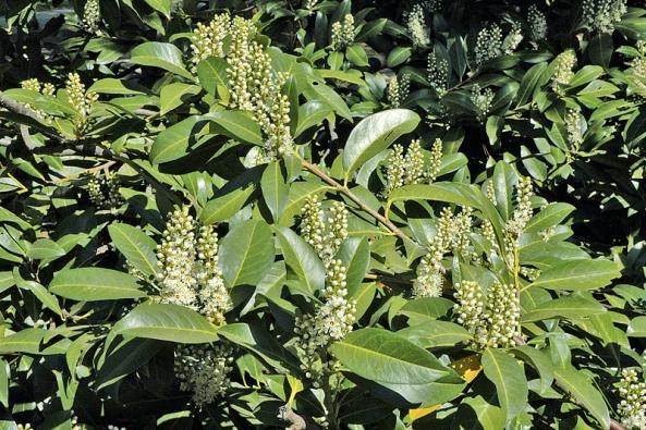 Květy Prunus laurocerasus rozkvétají koncem jara.