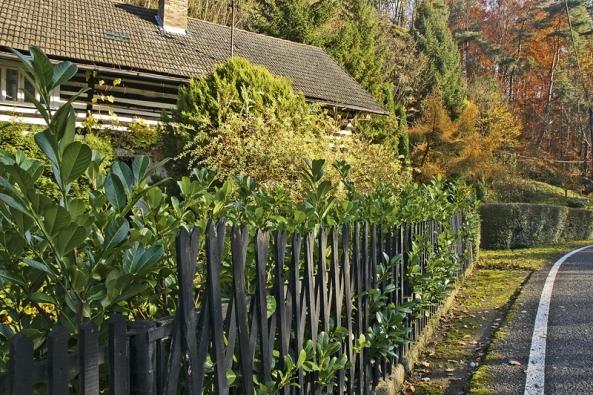 Tmavá zeleň listů druhu Prunus laurocerasus pěkně doplní řídký laťkový plot.