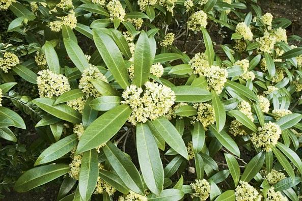 Bíle kvete iSkimmia japonica, ale již časně na jaře.