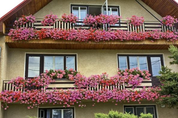 Nejčastější balkonovou rostlinou jsou pelargonie. Při správném pěstování změní balkon knepoznání.