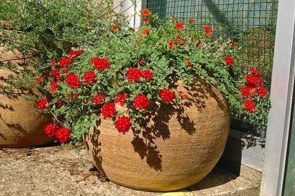 Převisle rostoucí verbena se svítivě červenými květy velmi dobře ladí shliněnou kulatou nádobou. Jednoduchá avelmi zdařilá kombinace!
