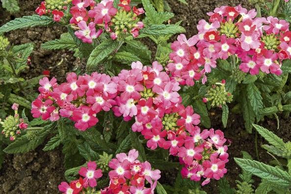 Nízké odrůdy verben se často používají jako pokryvná rostlina vzáhonech ivelkých nádobách třeba spalmami ajinými stromy.