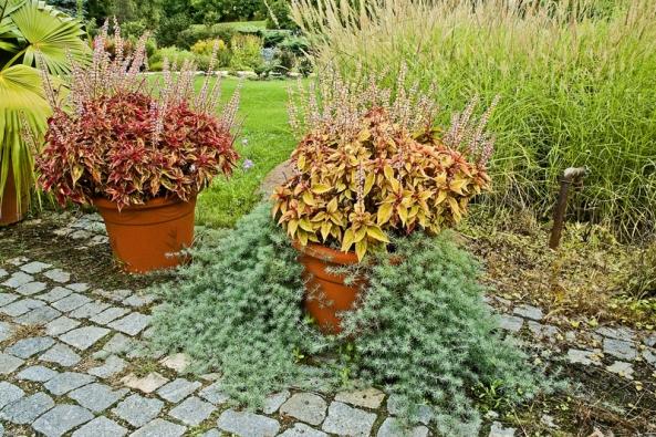 """Pokojová trvalka Solenostemon, kterou známe pod lidovým názvem  """"africká kopřiva"""", je vynikající rostlinou  do sezonních truhlíků anádob. Syté barvy velmi dobře doplní jemným stříbřitým olistěním  převislý štírovník (Lotus) zKanárských ostrovů."""