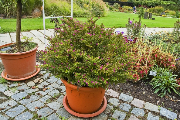 Hlazenec (Cuphaea hyssopifolia) sice kvete drobnými, fialovými nebo bílými kvítky, ale vytváří jich velké množství. Pěstují se asi dvě desítky druhů, většina znich icelkem dobře přezimuje vbytech.