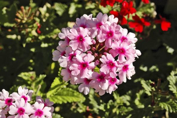 Květy verbeny (Glandularia), patřící ktradičním vegetativně množeným balkónovým rostlinám.