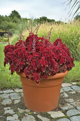 Květy afrických kopřiv (Solenostemon) nemají žádnou okrasnou hodnotu, zahradníci je spíš odstraňují, aby nerušily nádheru barevného olistění.
