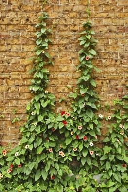 Thunbergia alata, velmi pěkná liána dorůstající 1 až 2m výšky. Původní forma má oranžové květy sčerným okem, kultivary jsou různobarevné. Pěstuje se hlavně zúnorového výsevu, kvete během celého léta.
