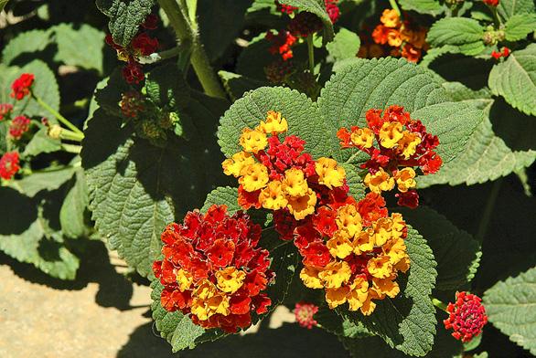 Lantana camara je velmi pěkný keřík na balkóny, který kvete celou sezónu. Množí se řízkováním vlednu aúnoru.