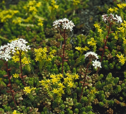 Mezi nejvhodnější rostliny pro extenzivní zelené střechy patří různé druhy rozchodníků (Sedum).