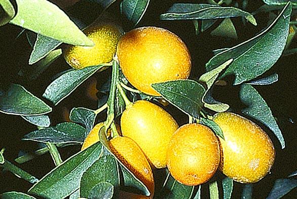 Kumkvaty se unás vsoučasnosti prodávají vypěstované do podoby malého stromku svýškou okolo jednoho metru. Liší se podle vzrůstu, celkového vzhledu atvaru plodu. Známe nagami kumkvat (Fortunella margarita), marumi kumkvat (F.japonica), meiwa kumkvat (F. x crassifolia) soválnými jedlými plody, hongkongský kumkvat (F. hindsii) amalajský kumkvat (F. polyandra) sdrobnými ozdobnými kulovitými nejedlými plody, někdy pěstovaný ve stylu bonsaj. Plody se sladkou slupkou akyselou dužninou mají stejné použití jako kalamondin. Dobře prospívají vnádobách, bohatě plodí abez problémů přezimují vchladnějších chodbách ahalách.