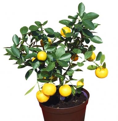 Kalamondin je vsoučasnosti nejprodávanějším citrusem zahradních center akvětinářství. Je nenáročný, dobře snáší slunná suchá místa na terase apřezimování na okně vbytě. Krásná odrůda 'Variegata' má bíle lemované listy. Plody mohou být přílohou kaperitivu či zajímavým doplňkem minutek nebo idigestivem po jídle. Mají sladkou slupku akyselou dužninu. Sklizeň po celý rok.