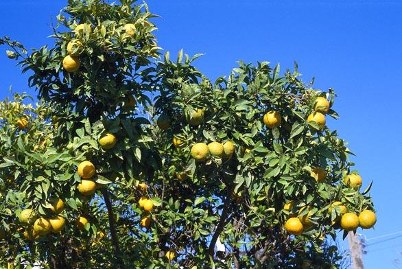 """Knádherným zážitkům na dovolené patří setkání srozkvetlými nebo plodícími citrusy. Bohatě plodící stromek citroníku jistě vyvolá touhu po vlastním výpěstku splody bez chemických postřiků. Pro naše světelné podmínky vzimě je nejvhodnější stará odrůda z19.století 'Lunario', dobře známý """"citrón čtyř období"""". Tvoří květy aplody po celý rok. Starší rostliny vyžadují prostorné nádoby atvarování. Velké plody poskytuje česká pokojová odrůda 'Kade Ghana ARS 5."""