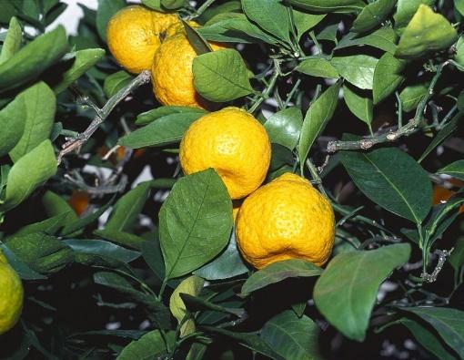 Citranže jsou kříženci mezi citronečníky apomerančovníky. Vchladných zimních zahradách asklenících bohatě kvetou aplodí. Kyselá dužnina je vhodná krybám akmasu. Čerstvá šťáva je vzimě vítaná do různých nápojů. Často jsou podnožemi pro odrůdy citrusů.