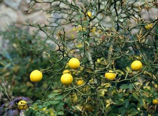 Citronečník trojlistý (Poncirus trifoliata) je jediným zástupcem ze skupiny citrusů, který unás přežije zimu ve vinohradnických oblastech. Silně trnitý keř má krásné slabě vonné květy. Na podzim zahradu ozdobí zlatožlutými plody alisty. Hořkokyselá šťáva je vhodná do míchaných aperitivů. Je důležitou podnoží pro ostatní druhy aodrůdy citrusů.