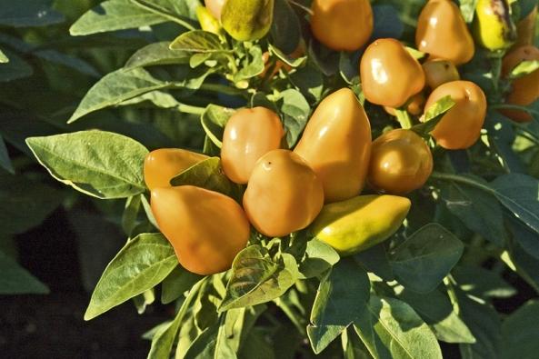 Jedlé okrasné kultivary papriky roční. Podobné druhy rodu Solanum mohou být jedovaté.