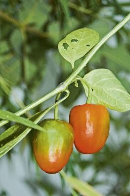 Paprika patří mezi nejvýznamnější zeleniny akoření, na světě se pěstuje kolem 3000 odrůd různých sladkých apálivých druhů.