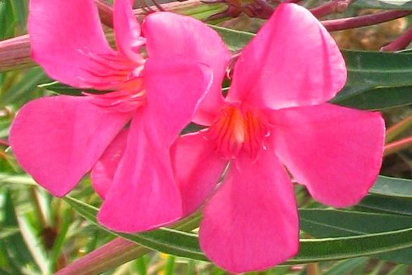 Oleandr výborně prospívá vzimní zahradě.